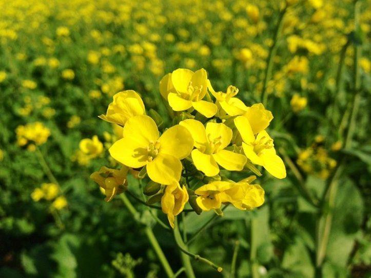 planta de mostaza