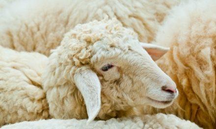 Cómo ser ovejas que agradan al Buen Pastor