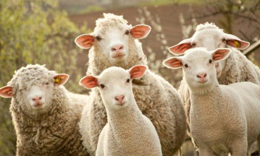 ovejas y buen pastor